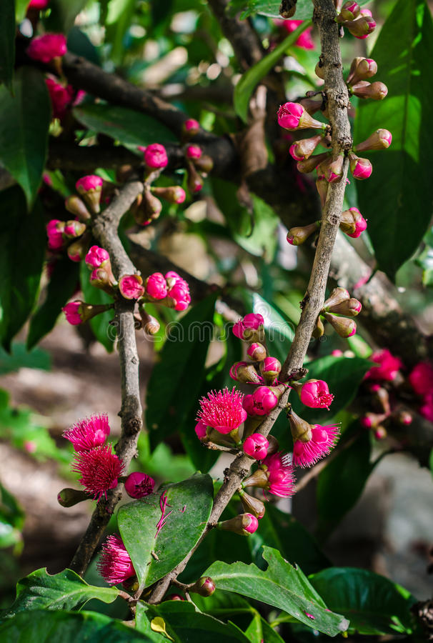 Flower of Malay apple blooming. On tree stock photography