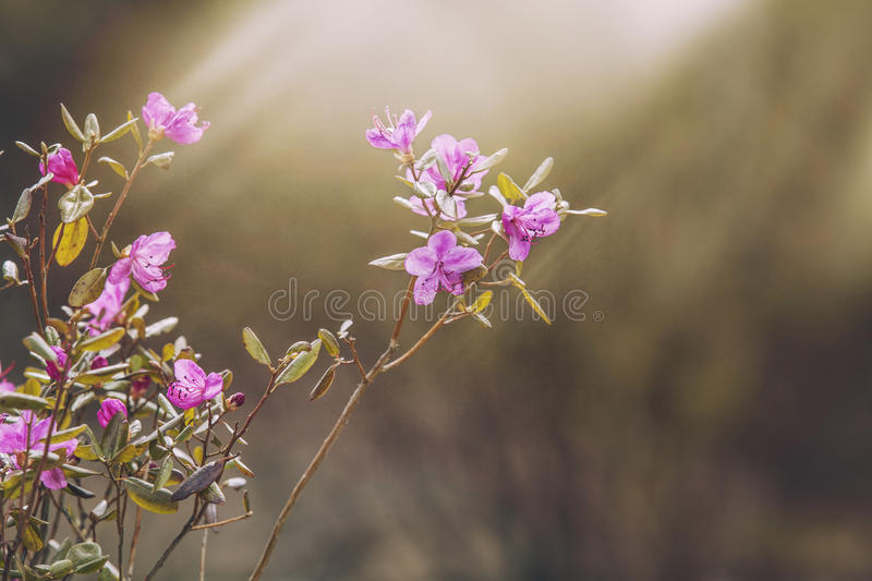 Flower maralnik in the sunlight closeup. Bush flower maralnik in the sunlight closeup stock image
