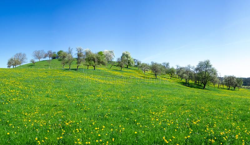 Flower meadow with dandelion at a hill stock photography