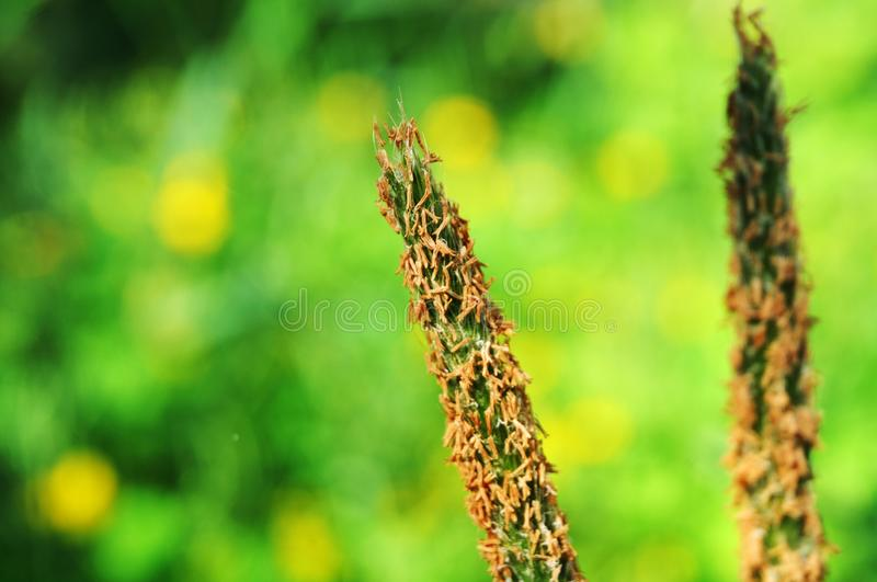 Flower of a meadow foxtail grass in sunlight stock image