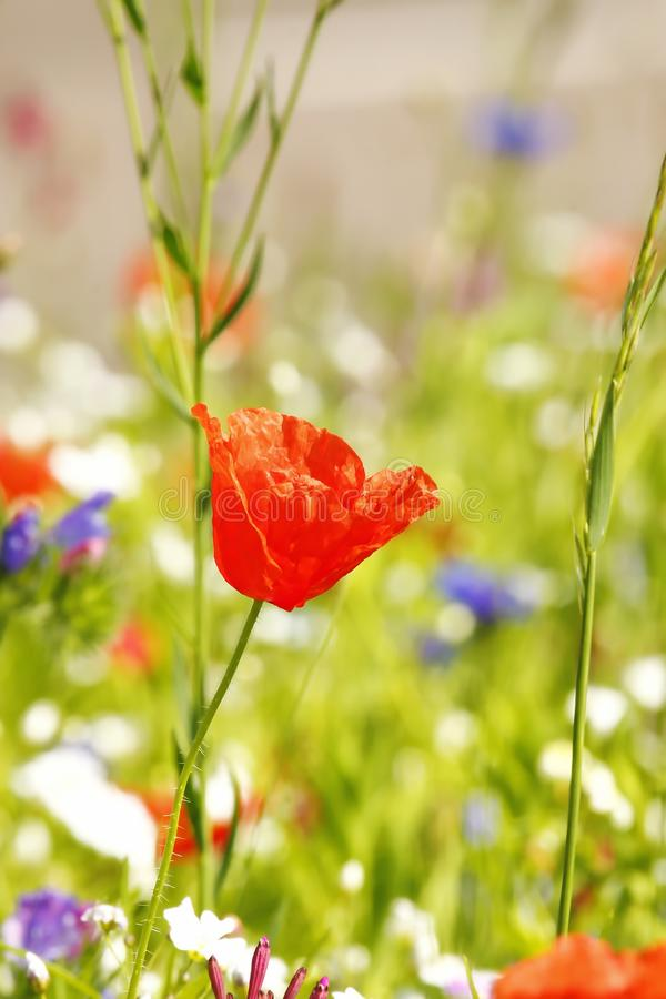 Flower meadow in summer royalty free stock image