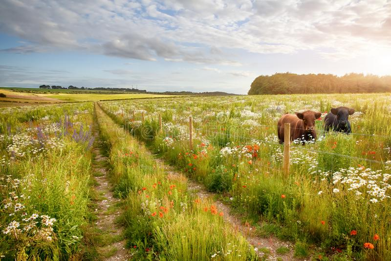Flower meadow tracks and two cows stock image