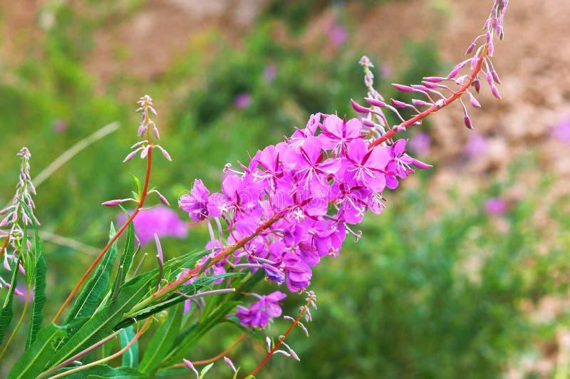 Flower of medicinal plant Ivan tea, Chamaenerion angustifolium, Epilobium angustifolium royalty free stock photography