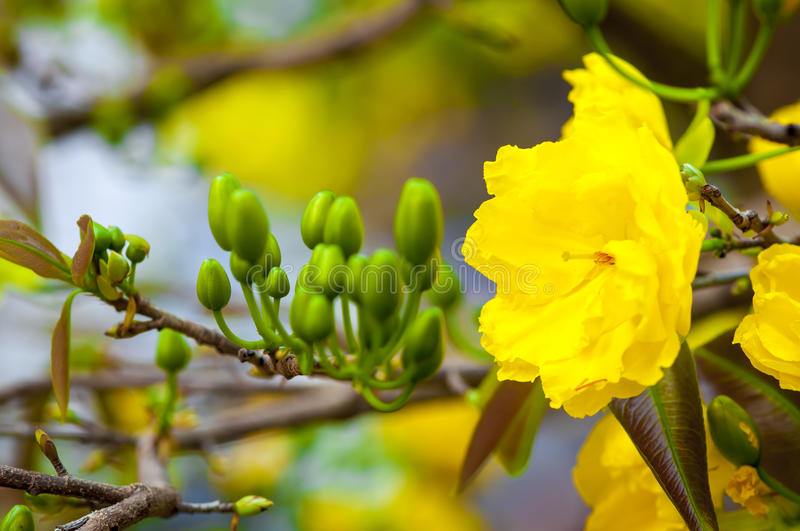Flower. Mickey Mouse Plant (flower in Spring Viet Nam royalty free stock images