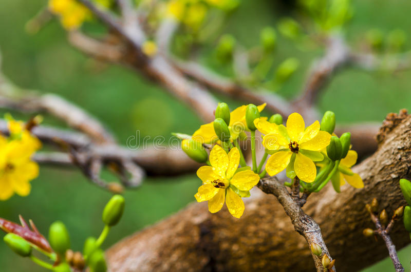 Flower. Mickey Mouse Plant (flower in Spring Viet Nam stock images
