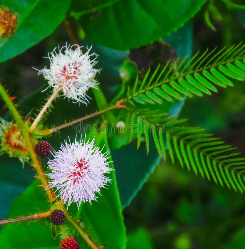 Flower of Mimosa Pudica. White and pink combination of Mimosa Pudica in tea forest stock image