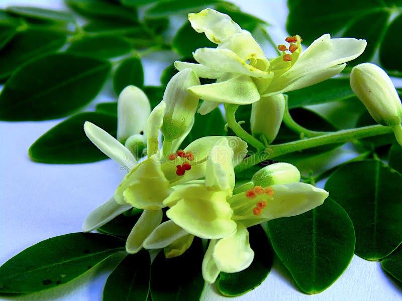 White flowers of drumstick tree / moringa royalty free stock image