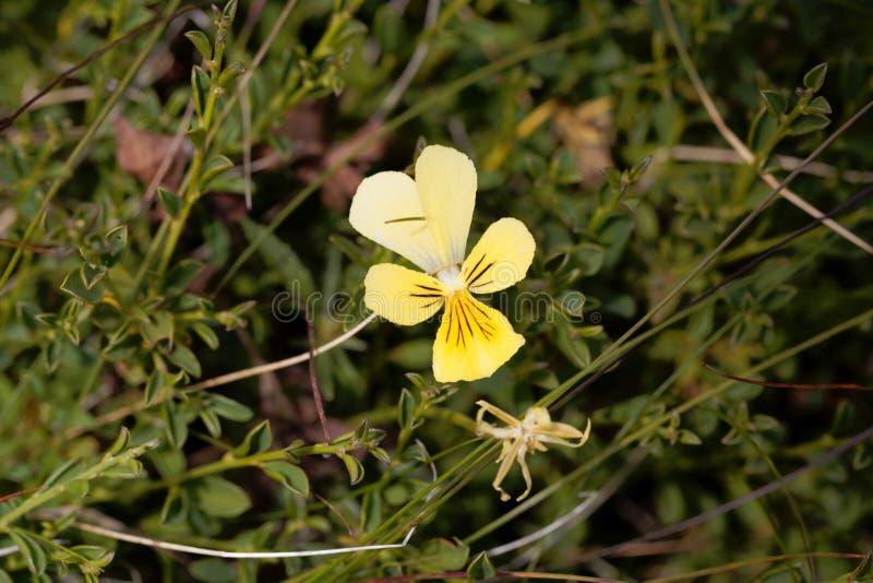 Flower of a mountain pansy, Viola lutea stock photos