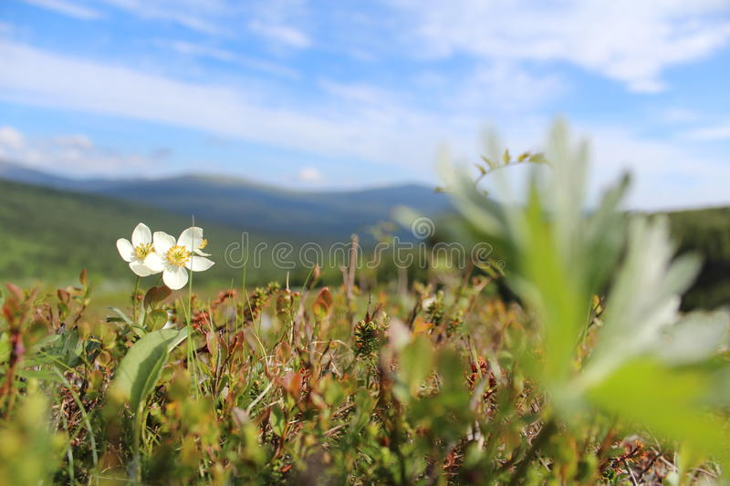 The flower in the mountains stock photography