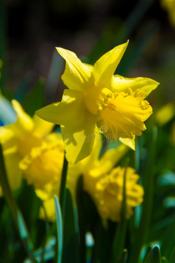 Flower of narcissus stock image