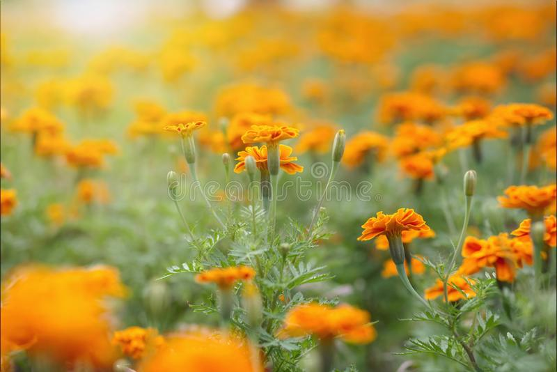 Marigold flower garden in sunrise royalty free stock photography