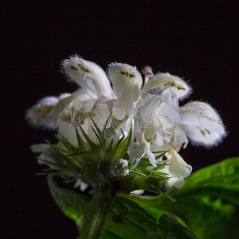 Flower of the nettle. On the black background royalty free stock image