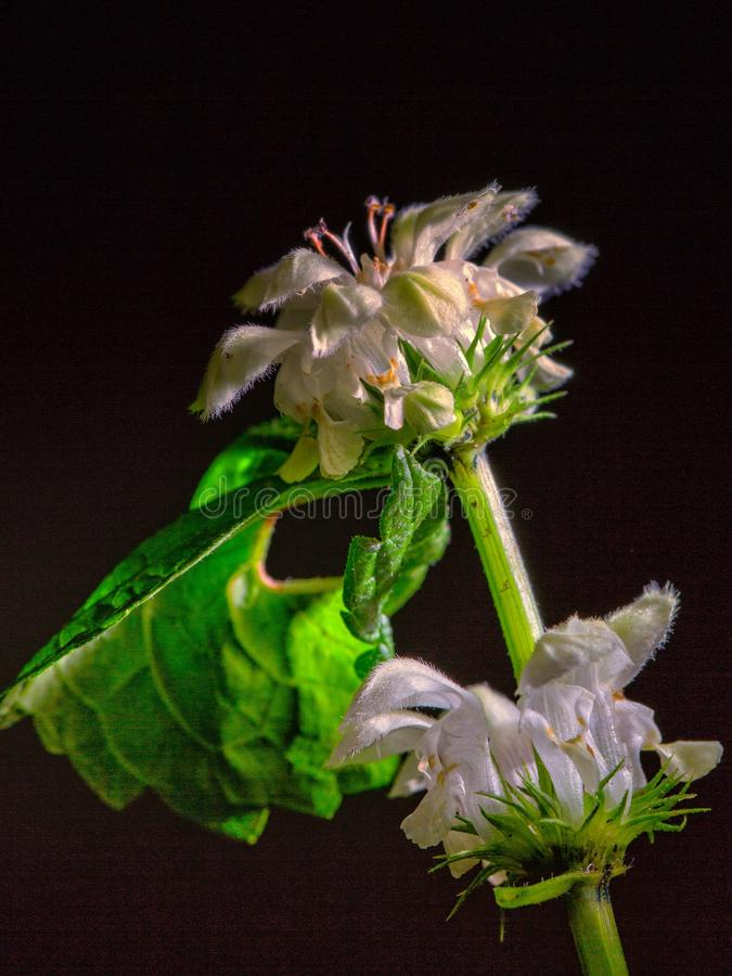 Flower of the nettle. On the black background stock photos