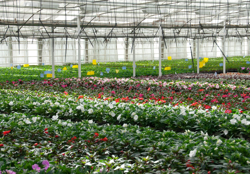 Flower nursery. Greenhouse with cultivated plants. Flower nursery in Europe. Greenhouse with cultivated plants and flowers stock images