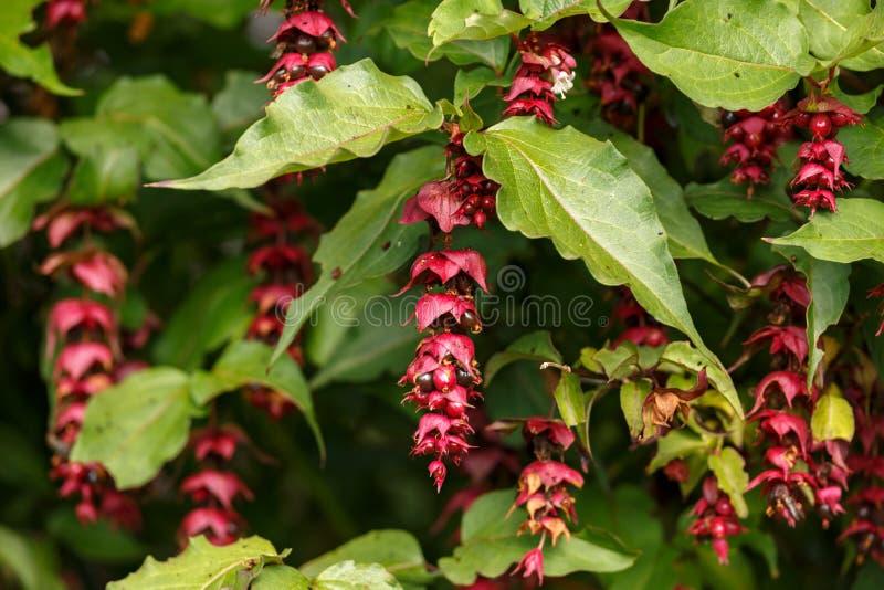 Flower Nutmeg or Himalayan Honeysuckel - Leycesteria formosa Berries photo stock