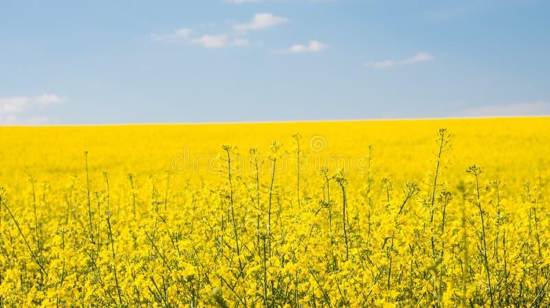 Flower of oil rapeseed in field stock photo