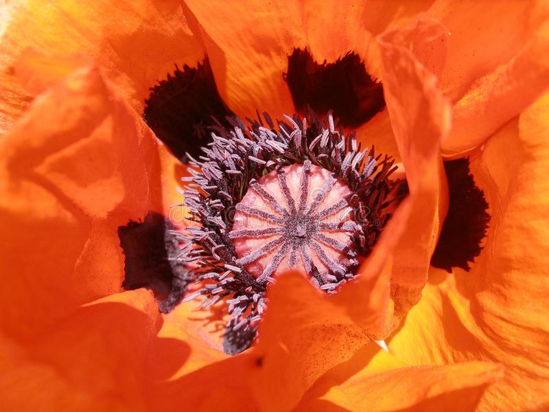 Flower, Orange, Flowering Plant, Close Up royalty free stock photography