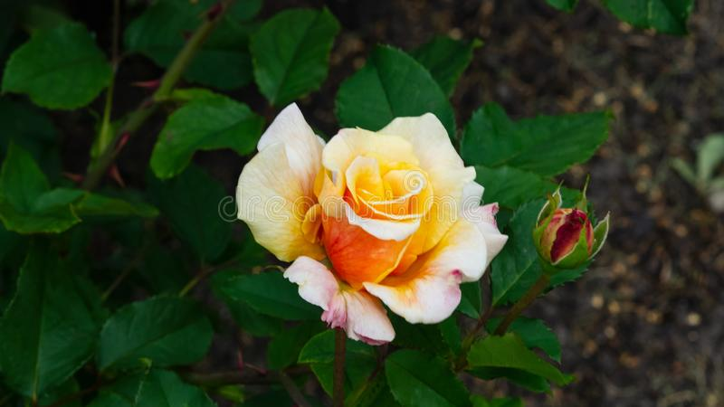 Flower of orange rose in garden on a bush, close-up, selective focus, shallow DOF.  stock images