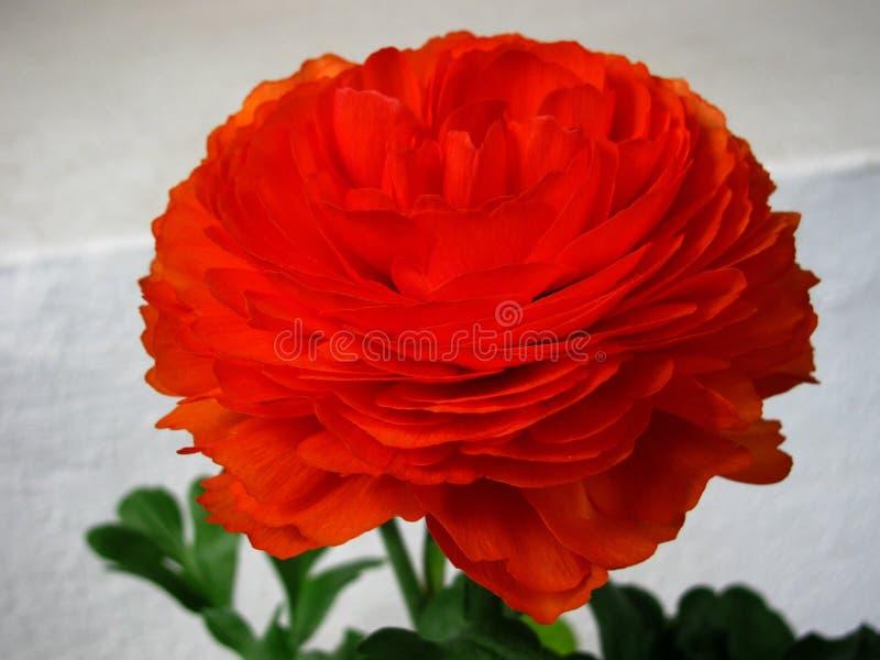Flower, Orange, Rose, Petal royalty free stock image