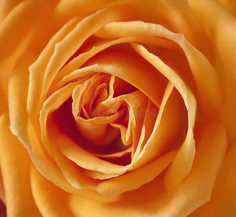 Flower, Orange, Rose, Yellow royalty free stock image