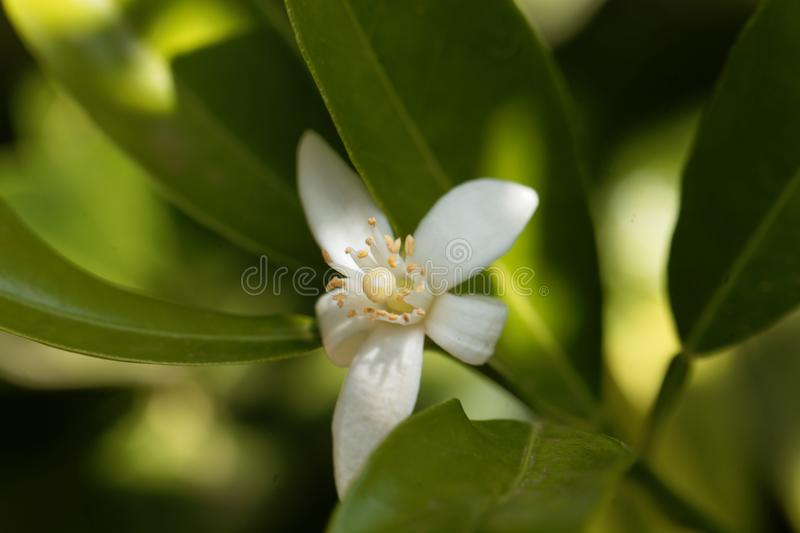 Flower of an orange tree royalty free stock photography