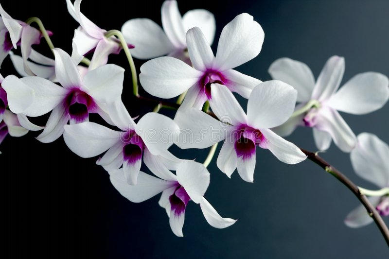 Flower orchid royalty free stock photo