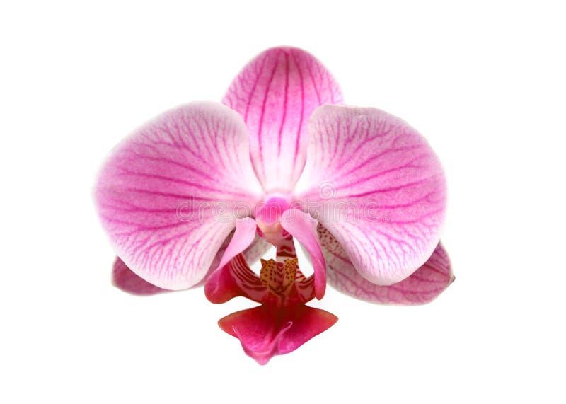 Flower orchid ( phalaenopsis ) stock image