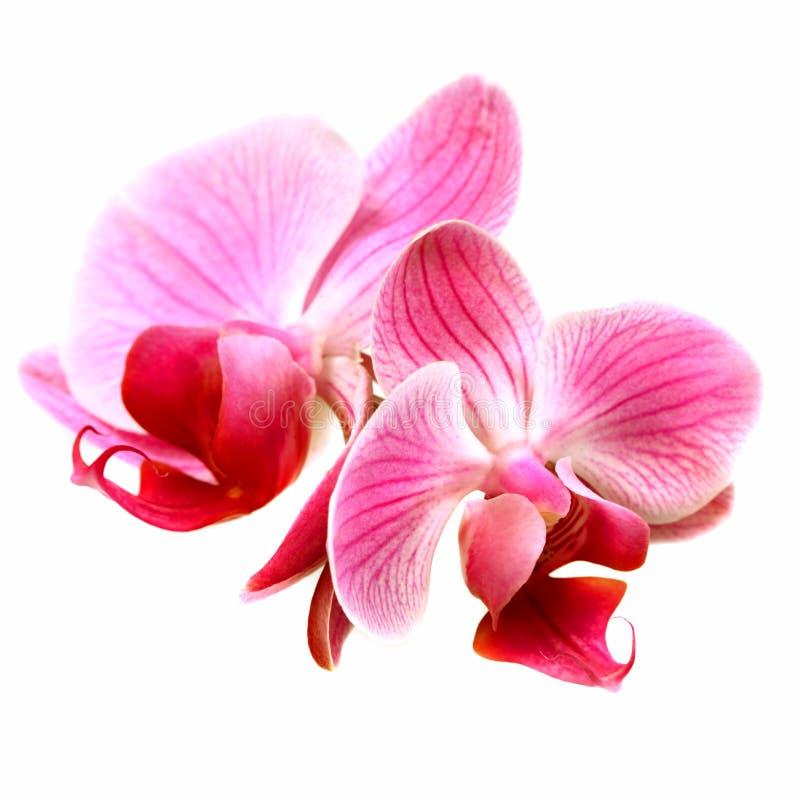Flower orchid - phalaenopsis stock photos
