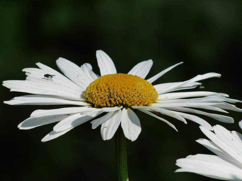 Flower, Oxeye Daisy, Chamaemelum Nobile, Daisy Family stock photos