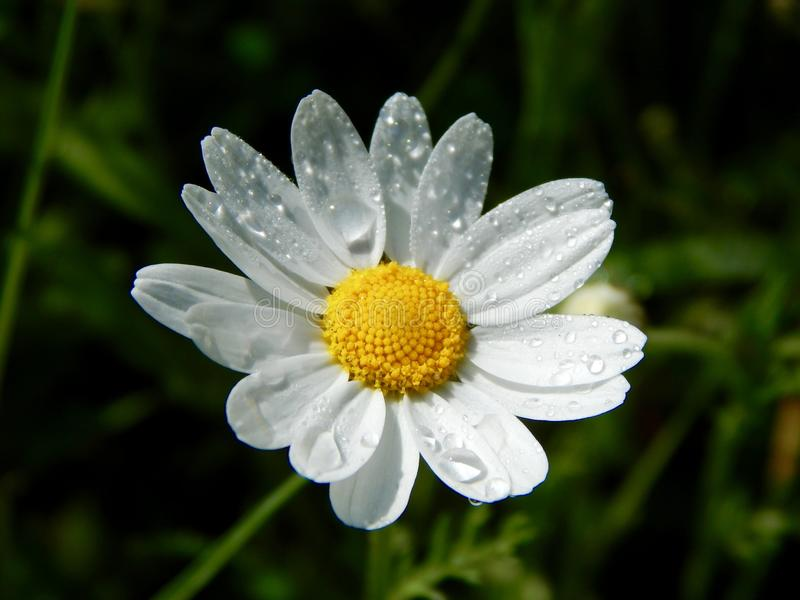 Flower, Oxeye Daisy, Chamaemelum Nobile, Flora Free Public Domain Cc0 Image