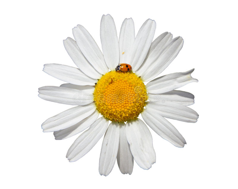 Flower of oxeye daisy. & x28;leuchanthemum vulgare& x29; isolated on white background, closeup stock images