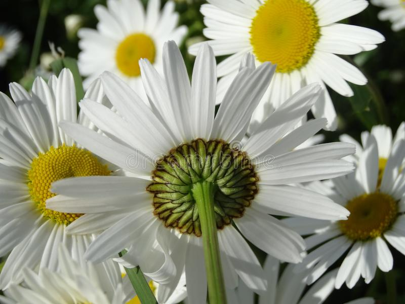 Flower, Oxeye Daisy, Plant, Daisy Family stock photo