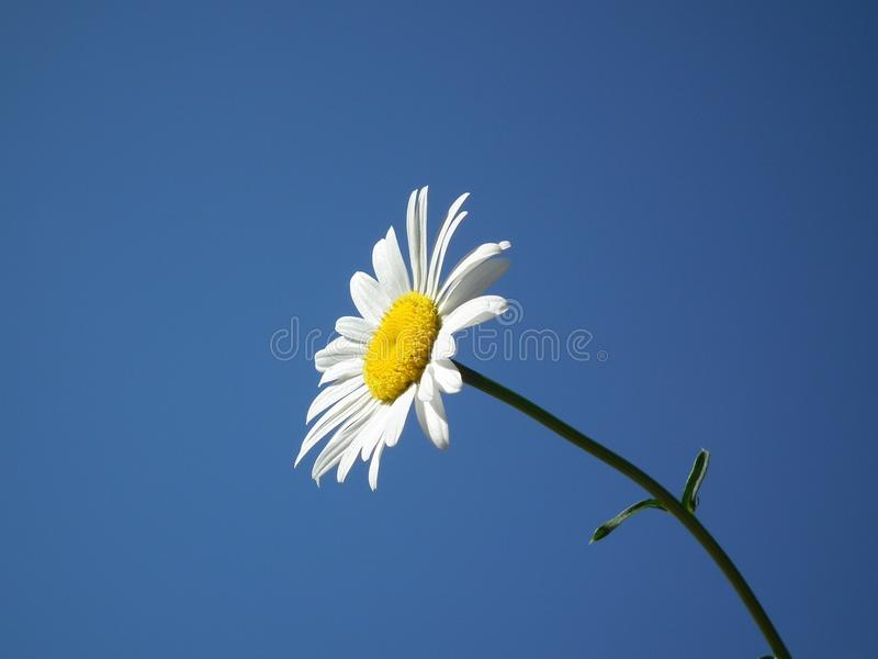 Flower, Oxeye Daisy, Sky, Yellow royalty free stock photo