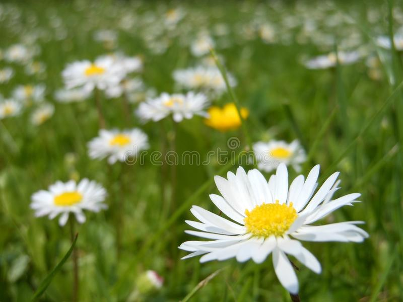 Flower, Oxeye Daisy, Yellow, Meadow royalty free stock image