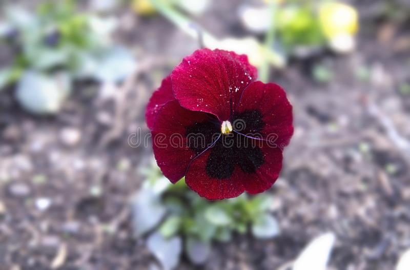 Flower Pansies, violet tricolor in the garden, spring bloom stock photos