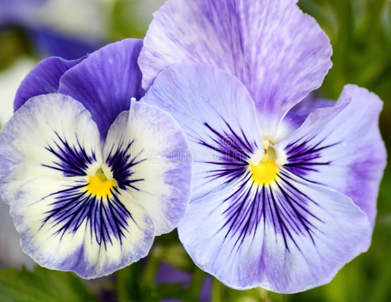 Flower, Pansy, Flowering Plant, Plant stock image