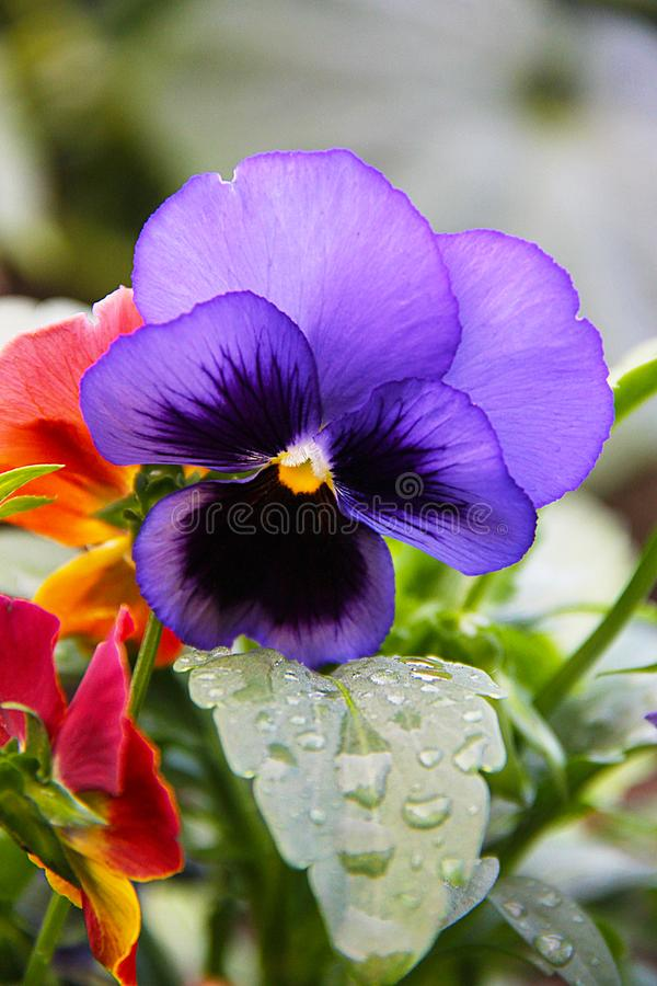 A flower of a pansy a three-color violet growing in the garden. The photo was taken immediately after the rain. royalty free stock photos