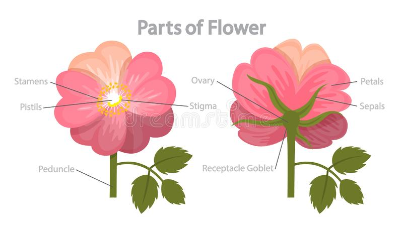 Flower part infographics. Biology and education concept royalty free illustration