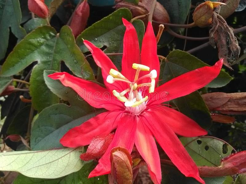 The flower of the Passion. Called the flower of the Passion by the European colonizers who related its red color to the blood of passion, it is widely used in royalty free stock image