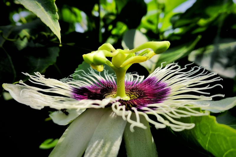 Flower of passion fruit. Dav, magenta, pink, beautiful, nature royalty free stock photos
