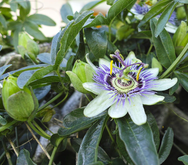 Flower of passion fruit. In a meadow royalty free stock image