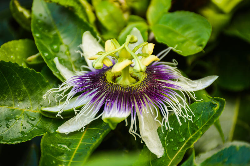 Flower of a passion fruit plant. After rain royalty free stock images