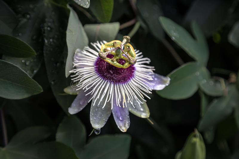 Passiflora caerulea. Flower passionflower with dew drops closeup on a background of dark green leaves. selective focus on the center of the flower royalty free stock image