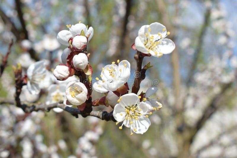 Flower on peach tree stock photo
