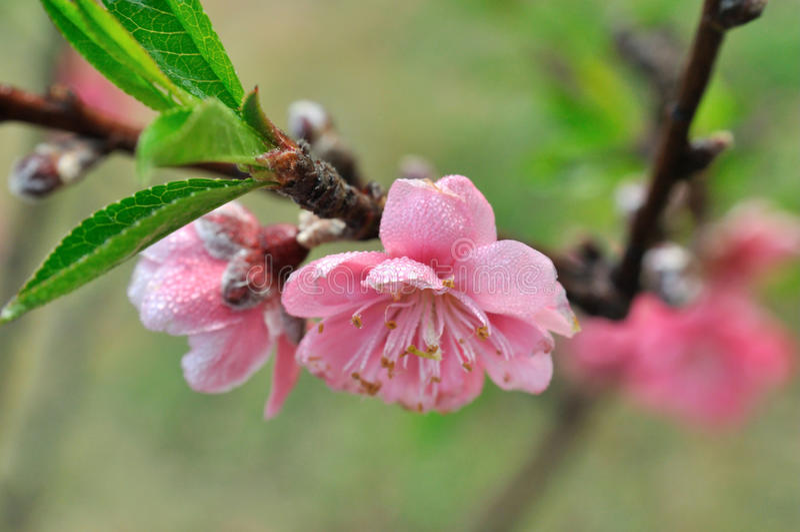 Flower on peach tree in spring