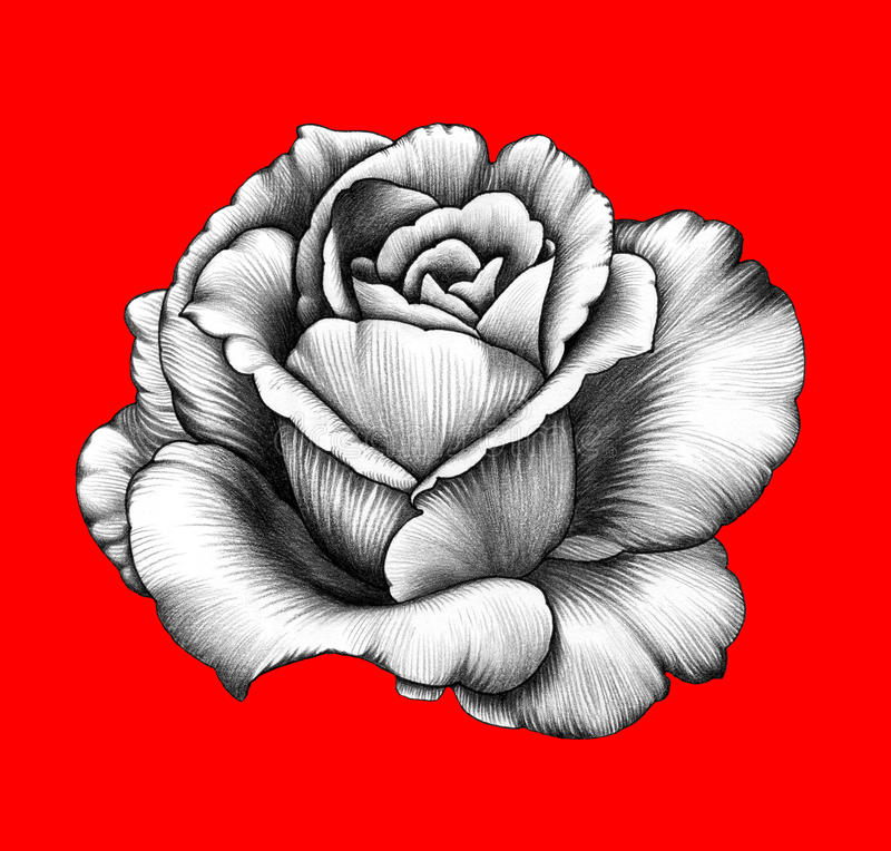 Free Flower. Pencil Drawing. Royalty Free Stock Photography - 60776657