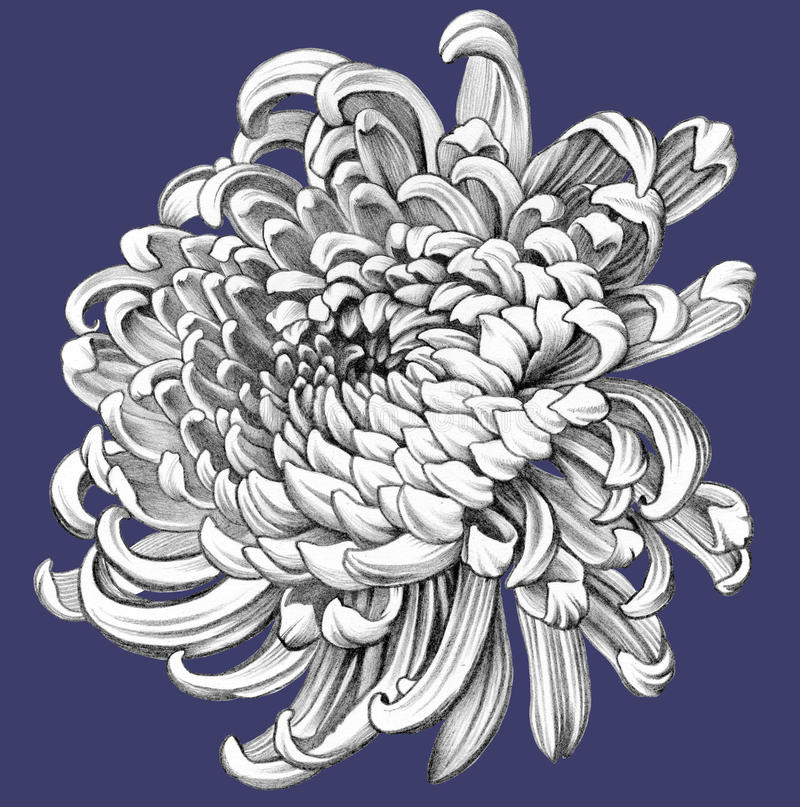 Free Flower. Pencil Drawing. Royalty Free Stock Photography - 60805267
