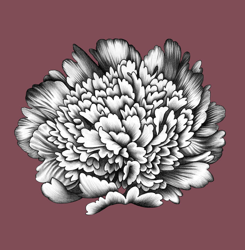 Flower. Pencil Drawing. royalty free illustration