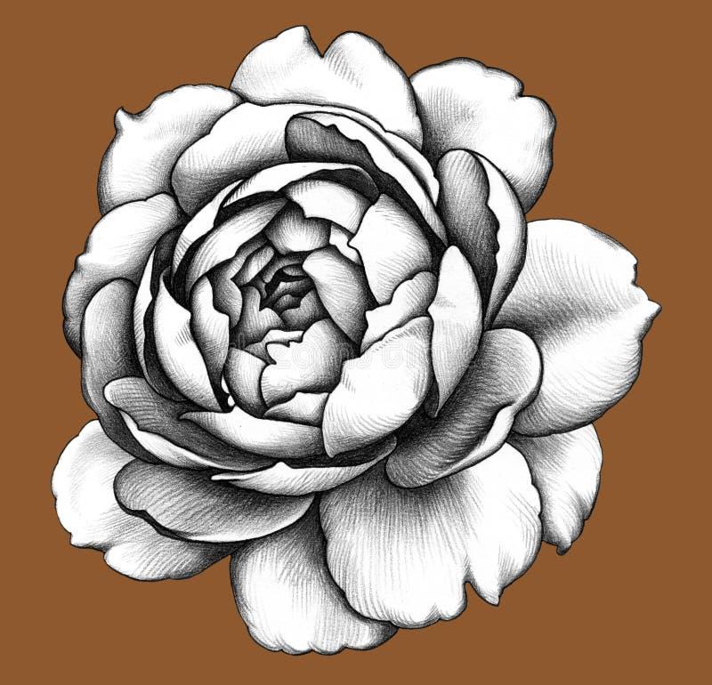 Flower. Pencil Drawing. stock illustration