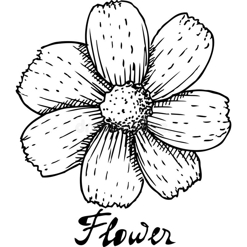 Black And White Flower, Aster, Drawing, Coloring Book, Common Daisy,  Watercolor Painting, Pencil, New England Aster transparent background PNG  clipart | HiClipart